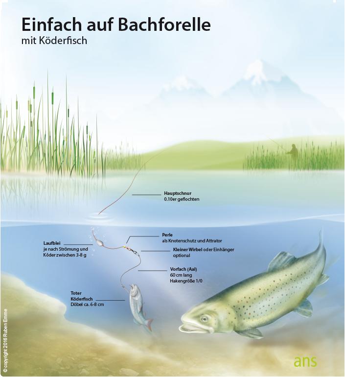 Montage-Bachforelle-Köderfisch